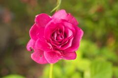 本日の小薔薇 赤