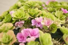 本日の「母の日の紫陽花」