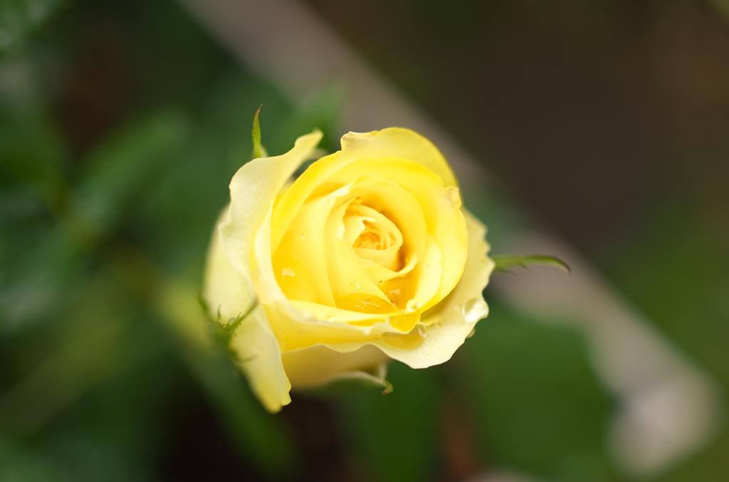 こちらの小薔薇も!