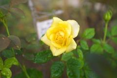 本日の小薔薇 黄色