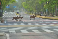 早朝の奈良市内は鹿の町。