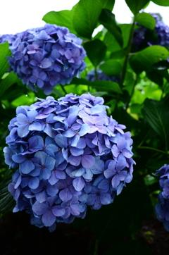雨中、移ろい行く花。