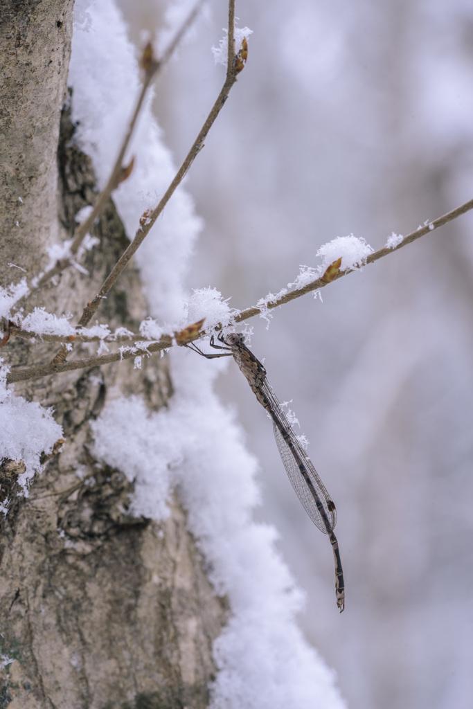 雪とホソミオツネントンボ-1