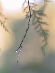 雨上がりのホソミイトトンボ