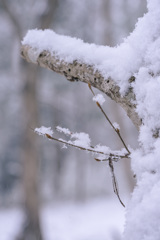 雪とホソミオツネントンボ-2
