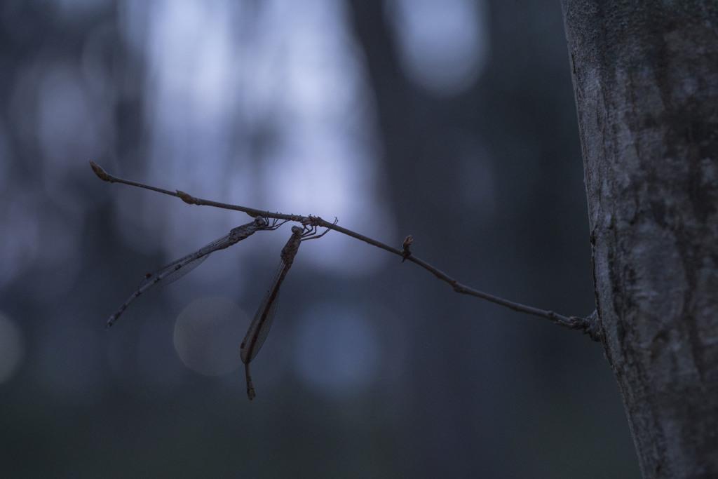 夜明け前のホソミオツネントンボ-2
