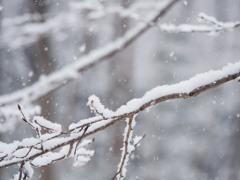 雪とホソミオツネントンボ-4
