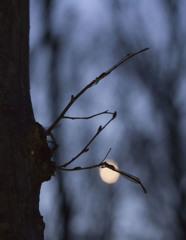夜明け前のホソミオツネントンボ-1