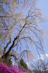 桜 総集編①