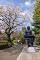東京大仏の桜1