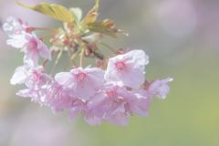 桜三昧16