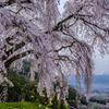 乙ヶ妻の枝垂れ桜② 富士三昧548