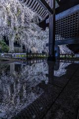 安国寺の枝垂れ桜3