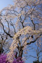 桜 総集編③