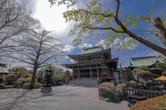 東京大仏の桜2