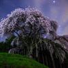 乙ヶ妻の枝垂れ桜