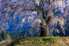 発地の枝垂れ桜