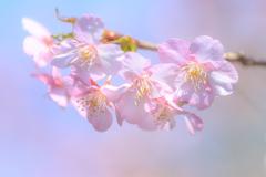 河津桜2020-①