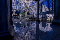 安国寺の枝垂れ桜1