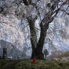憧れの一本桜②