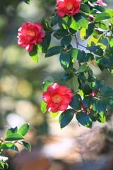 陽だまりの山茶花