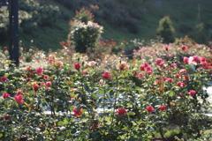 薔薇園の朝