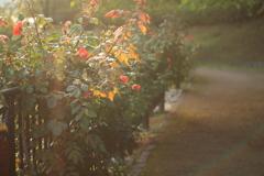 夕暮れの薔薇園