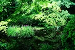 青紅葉と花菖蒲