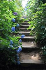 あじさい階段♪