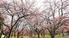 雨の平野神社