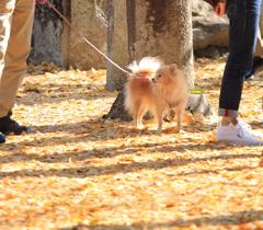 銀杏の絨毯をお散歩♪