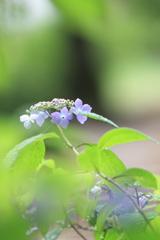 はしりの紫陽花