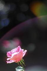 薔薇園の光たち