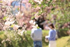 春♪ 満開