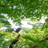 錦帯橋 青葉の季節♪