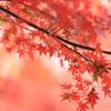 吉水の江戸紅葉