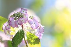 陽だまり紫陽花
