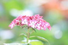 紫陽花のメロディー♪