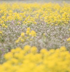 菜の花とナズナの花畑