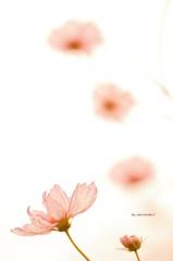 花びらdrops♪