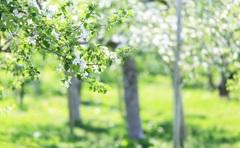 林檎の花が咲く頃