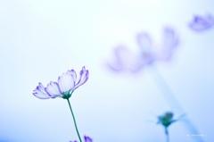 ガラスの花びら