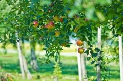 林檎のある風景