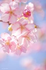 ふわふわ夢桜♪