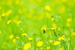 揺れる黄花とセセリちゃん