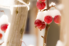 真冬の姫りんご