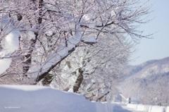 凍る桜並木