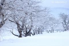 凍える桜並木