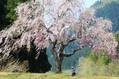 君は美し ~田屋の一本桜~