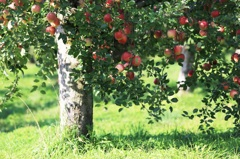 セザンヌの林檎たち